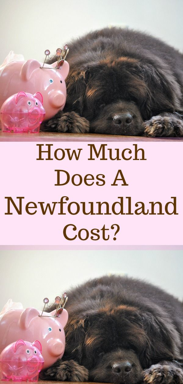 Pin On My Brown Newfies Blog