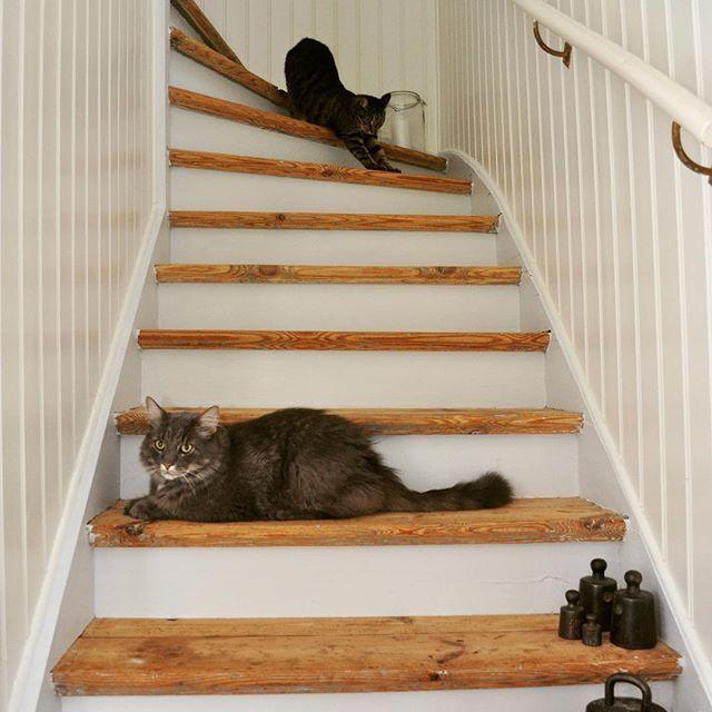 Vi hann bygga upp ställningen på baksidan av huset på förmiddagen, sen kom regnet..så inget målande idag😊 Diesel och Elvira satt i trappan och kikade ut genom den öppna ytterdörren när det vräkte ner som värst. God natt på er💕😴😻#catsofinstagram #katter #instacats #cutecats #trappa#gamlahus #linoljefärg #lantligt #svenskahem #pärlspont