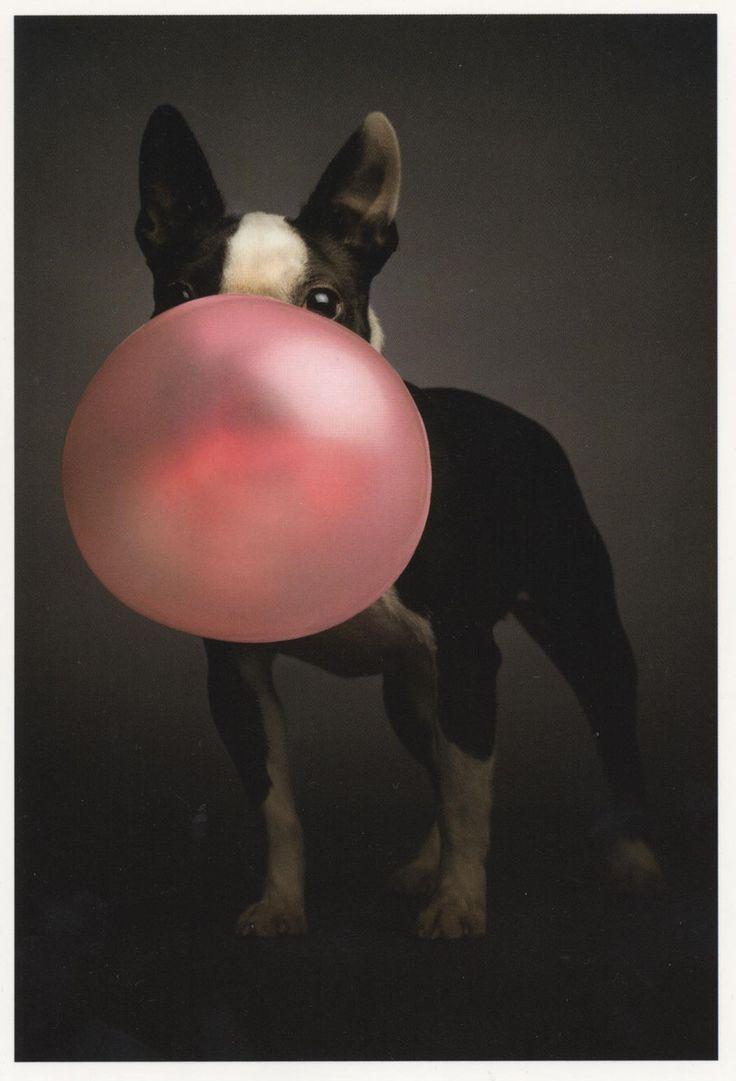 Bubble Gum Boston Terrier