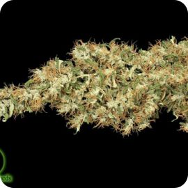 Kali Mist - strain - Serious Seeds | Cannapedia