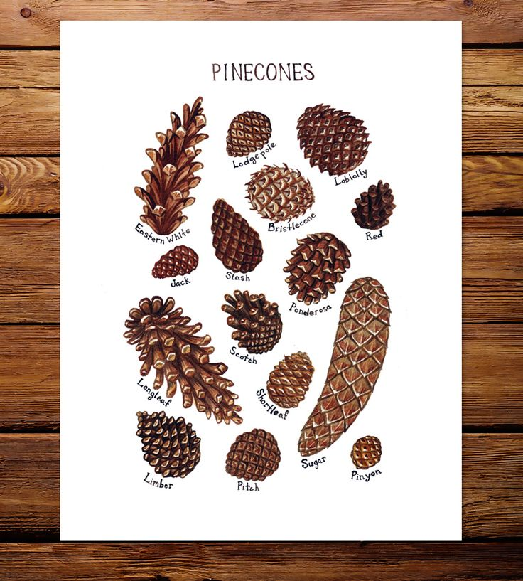 Pine Cones Field Guide Art Print by Kate Dolamore Art on Scoutmob Shoppe