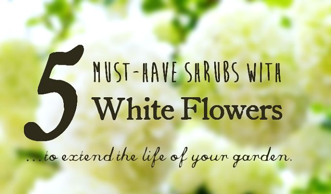Do you have a thing for white flowers and want to extend the life of your garden? Look no further. Check out these 5 must-have shrubs with white flowers.