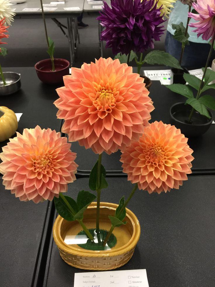 Hamilton Lillian Plants, Dahlia, San leandro