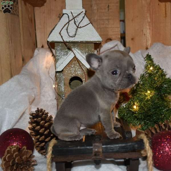 Babe French Bulldog Puppy For Sale In Ohio Bulldog Puppies For Sale Bulldog Puppies French Bulldog