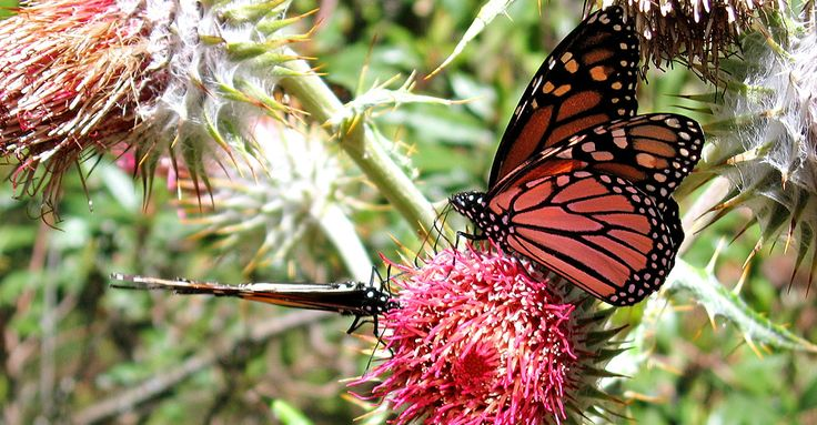 The monarch butterfly has some very interesting characteristics and abilities that none of its butterfly cousins across the globe can lay claim to.