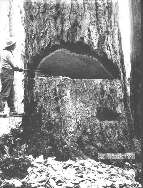 Vancouver Island Big Trees: Douglas-fir: Tallest Tree In The World?