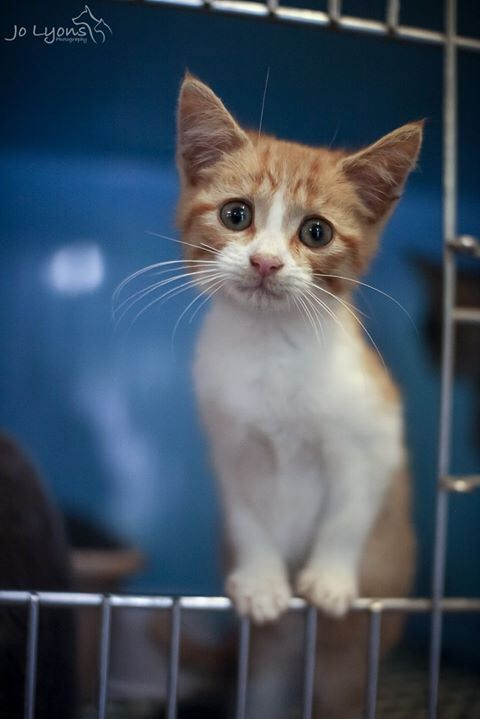 Way back in March 2012 I photographed a little ginger and white kitten at the pound. Her little face broke my heart but there were wonderful things ahead for this little tiny abandoned kitten. This photo attracted a wonderful foster carer and so the wheel