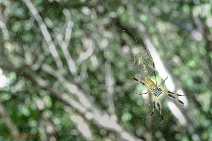 Spiders weaving webs in the Bahamas. Not a fan of the creepy crawly's but the webs they weave... Fascinating. #bananaspider #abaco #ewe #birthdayinthebahamas #itsreallyhothere #weavingalife #spidersweb #lifeisgood