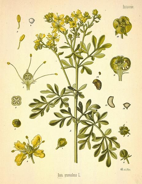 RUE HERB - Strongly stimulating and antispasmodic – often employed, in form of a warm infusion, as an emmenagogue. In excessive doses, it is an acro-narcotic poison, and on account of its emetic tendencies should not be administered immediately after eating. http://www.luminescents.net/product/rue-herb-cut/