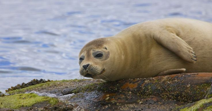 Seals are being shot to protect 'ethical' salmon being sold in UK supermarkets   Read more: http://metro.co.uk/2017/06/26/seals-are-being-shot-to-protect-ethical-salmon-being-sold-in-uk-supermarkets-6734424/#ixzz4lGEpJUjt