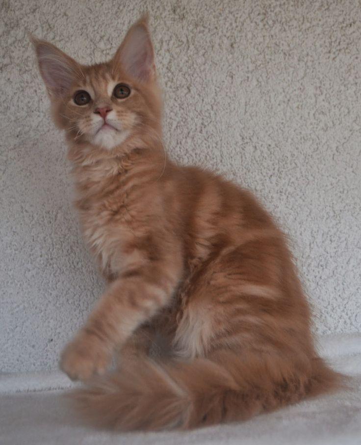 Maine Coon - Mainská mývalí kočka: Romeo