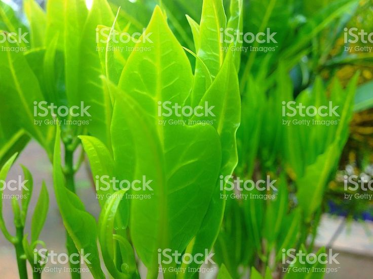 Young croton leaves royalty-free stock photo