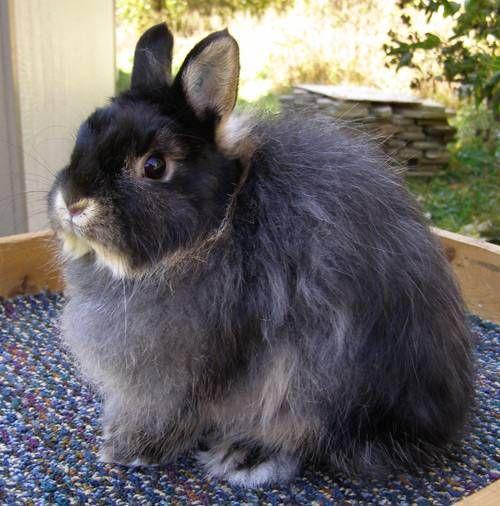 Polish Rabbit | 2012 ARBA Convention - Jersey Wooly Rabbits and Polish Rabbits For ...
