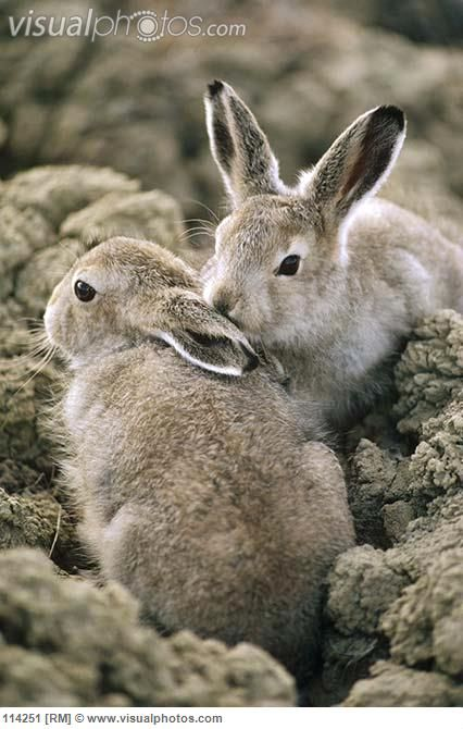 Arctic Hare (Lepus arcticus) babies camouflaged on tundra, Ellesmere Island, Nunavut, Canada