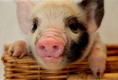 Tea Cup Pigs (The Little Loves Of My Life) <3:  Sus Scrofa, Hog, Pet, Teacup Pigs, Minis Pigs, Teas Cups Pigs,  Grunter,  Squealer, Homemade Art