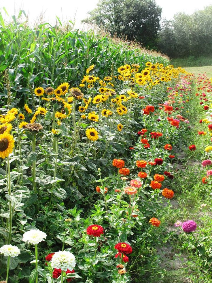 Make an attractive border for vegetable plots using beneficial flowers such as sunflowers and Nasturtiums.  Includes year round planting guide.