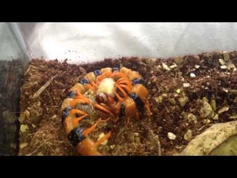 Feeding My Scolopendra Galapagoensis and Hardwickie - YouTube