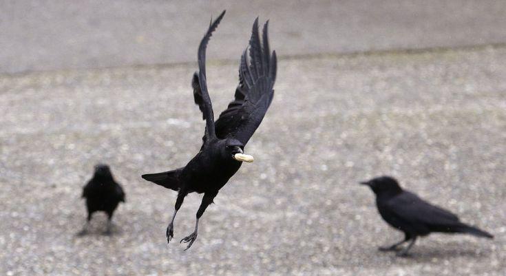 Un cuervo alza el vuelo con un cacahuete en la boca en Seattle.ELAINE THOMPSON (AP)
