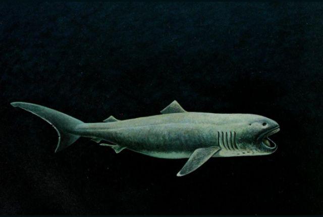 Best 25+ Megamouth shark ideas on Pinterest | Deep sea ...