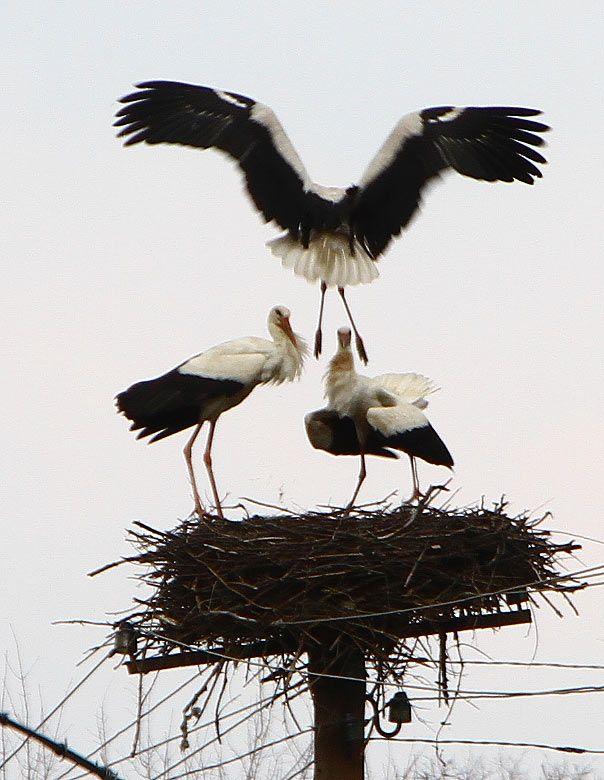 Storks often make nest close to people #Ukraine
