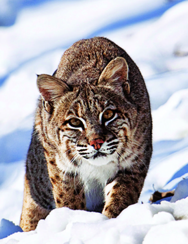 """Whenever a fresh, midnight snow falls on Michigan's Upper Peninsula, you can find Ron Edgerly out before dawn, prowling back roads looking for fresh bobcat tracks. """"Last year, I called into shotgun range my biggest ever--a 40-pounder--after tracking it for two and a half hours,"""" says 73-year-old Edgerly. On his pre-dawn hunts, he looks for a precise combination of factors. 1. The Weather When targeting a predator with a typical home range of anywhere from 25 to 36 square miles, ..."""