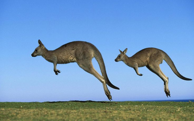 Highest Jumping Animals In The World, Jumping Animals, Highest Jumping Animals, kangaroo jumps, how high can kangaroos jump