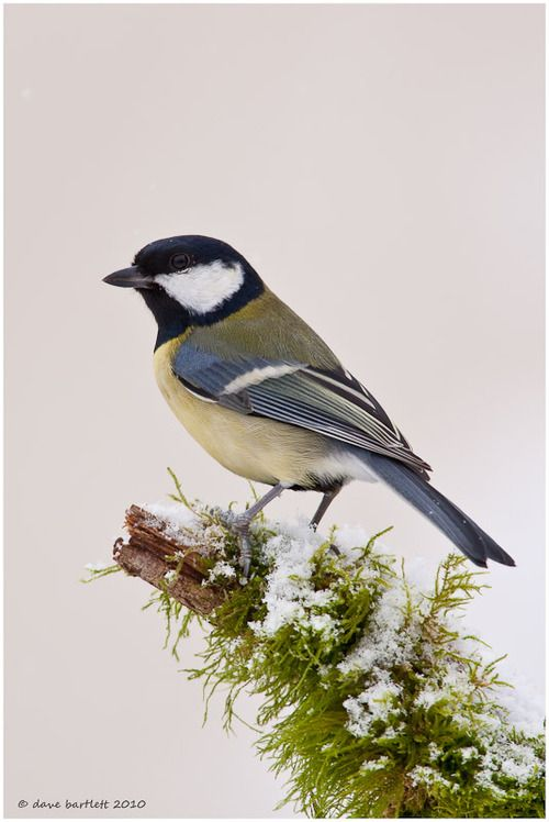 ☀The Great Tit (Parus major) is a passerine bird in the tit family Paridae. It is a widespread and common species throughout Europe, the Middle east, Central and Northern Asia, and parts of North Africa in any sort of woodland.