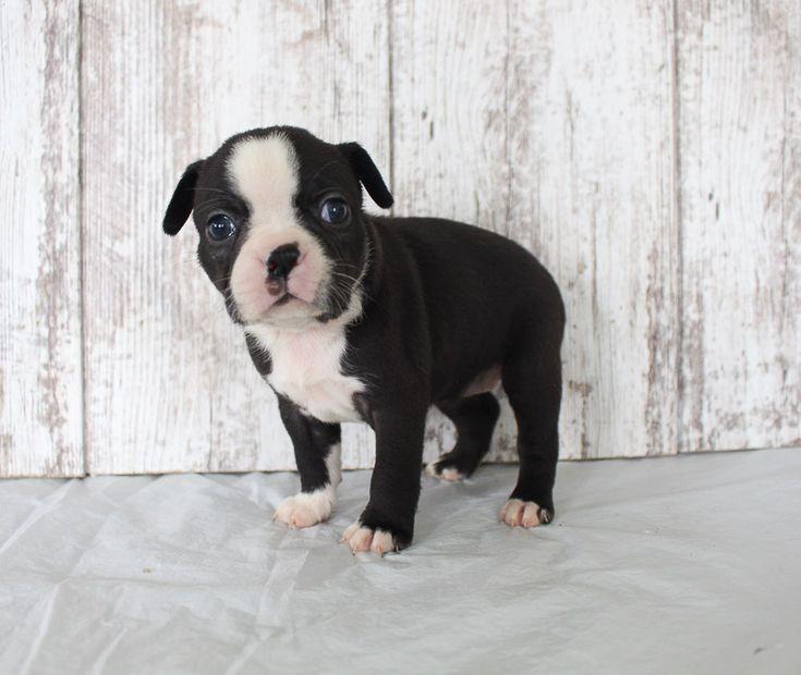 Brenda akc female boston terrier puppy for sale in