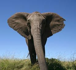 25 INTERESTING FACTS ABOUT ELEPHANTS