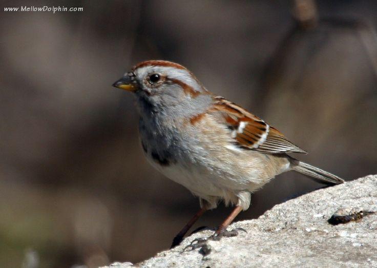 Indiana sparrows | Birds_IMG_6978cau-american_tree_sparrow ...