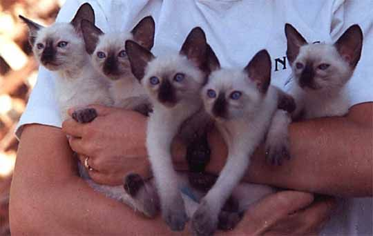 popular cats in the world siamese cat 300x190 Top 7 Most Popular Cats ... - See more stunning Cat Breeds at Catsincare.com!
