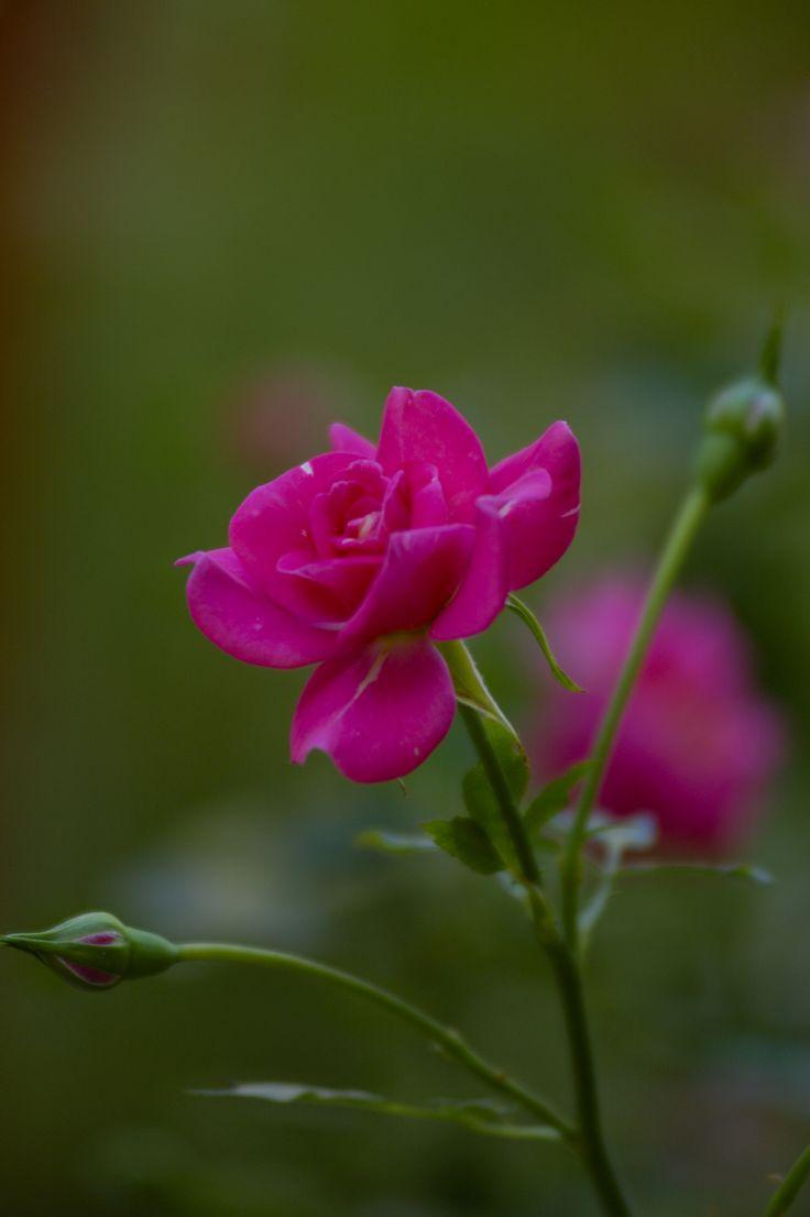 Fuchia Roses - Avli - Garden