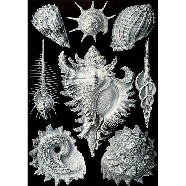 Vintage Seashells Ii By Julia Kearney Graphic Art Print In 2021 Nature Art Prints Art Prints Art