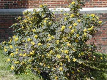 Nombre científico o latino: Mahonia aquifolium  Nombre común o vulgar: Mahonia, Uva de Oregón                         Origen: la parte occidental de Norteamérica.