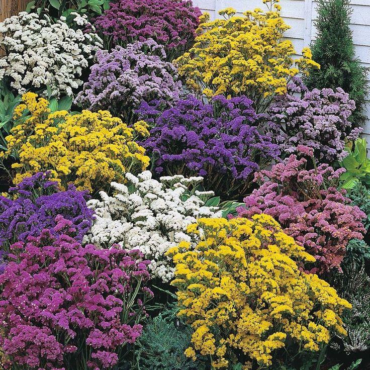 Flower: Statice (Limonium/Sea Lavender) Forever Mix 100 seeds