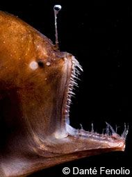 Closeup of a female anglerfish showing its large teeth and lure
