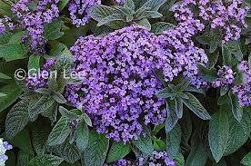 heliotropium arborescens - Common heliotrope/cherry pie. Highly fragrant (vanilla) annual for full sun.