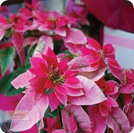Princettia, is a gorgeous pink coloured plant and makes for an ideal living gift.  #http://www.searle.com.au #pink #princettia #winter #flower #plant #indoor #garden #australia