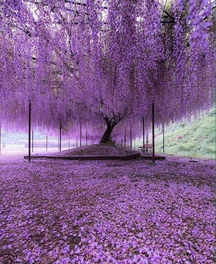 A 200 Year Old Wisteria Tree In Japan Wisteria Tree Purple Trees Beautiful Nature