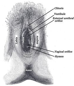 The fossa of vestibule of vagina/ Fossa navicularis is a boat-shaped depression between the vagina/hymen and the frenulum labiorum pudendi. The small openings of the Bartholin's ducts can be seen in the grooves between the hymen and the labia minora, on either side.