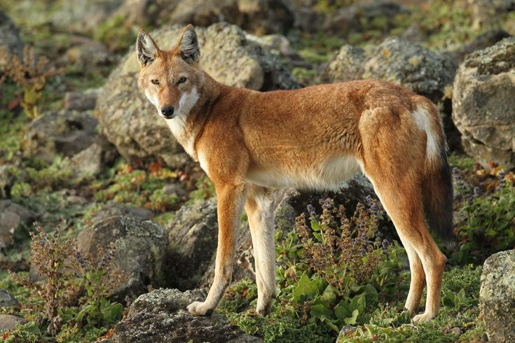 The endangered Ethiopian wolf suffers from high levels of rabies—but a new vaccine trial may help save the species.
