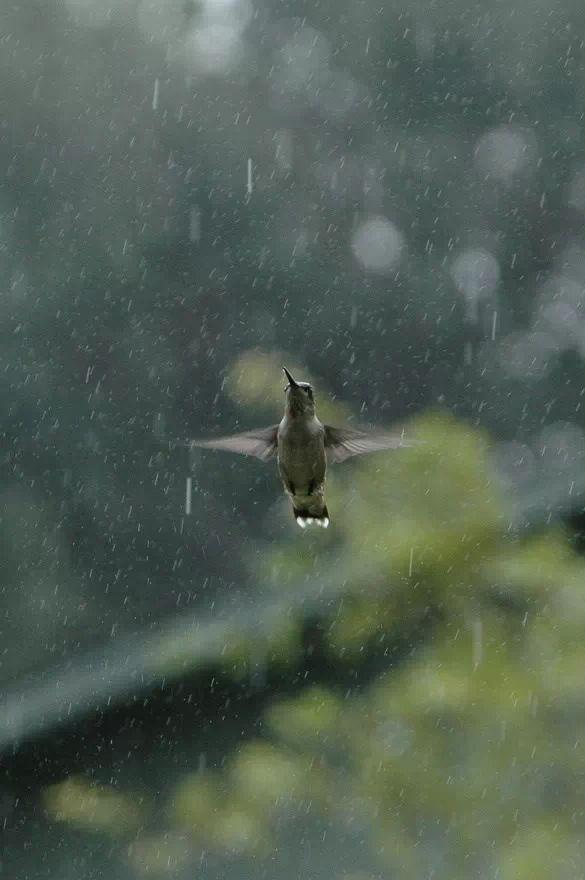 Hummingbird, enjoying the sweet rain!