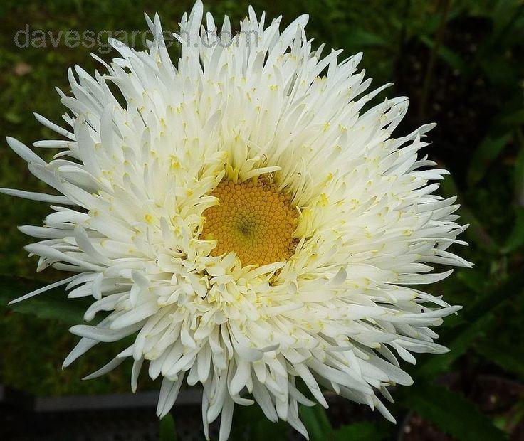 leucanthemum osiris - Google Search