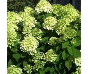 gul Hortensia