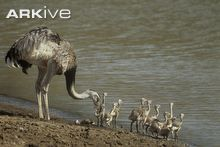 Greater rhea with chicks by river bank