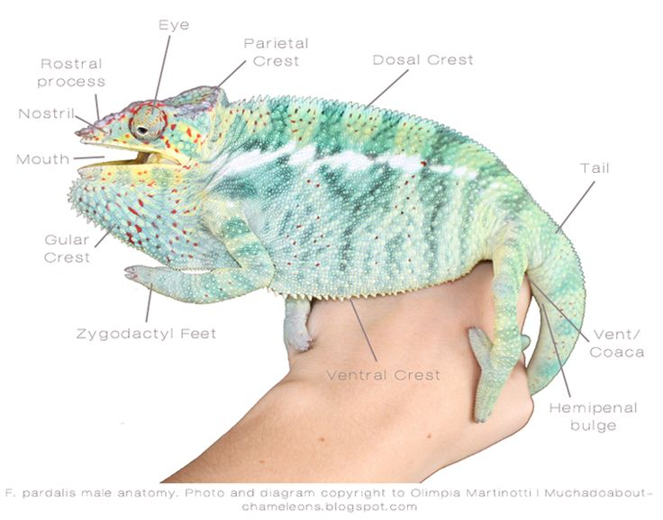 Much Ado About Chameleons | Reptile stuff! | Pinterest ...