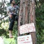 Contro il taglio di 16 alberi da 3 giorni vive arrampicato su un cipresso a dieci metri d'altezza