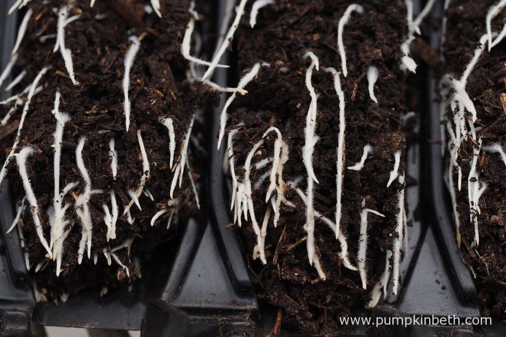 As the Lathrus odoratus roots reach the bottom of the Deep Rootrainers they are air pruned. This air pruning encourages further branching of the plants' roots.
