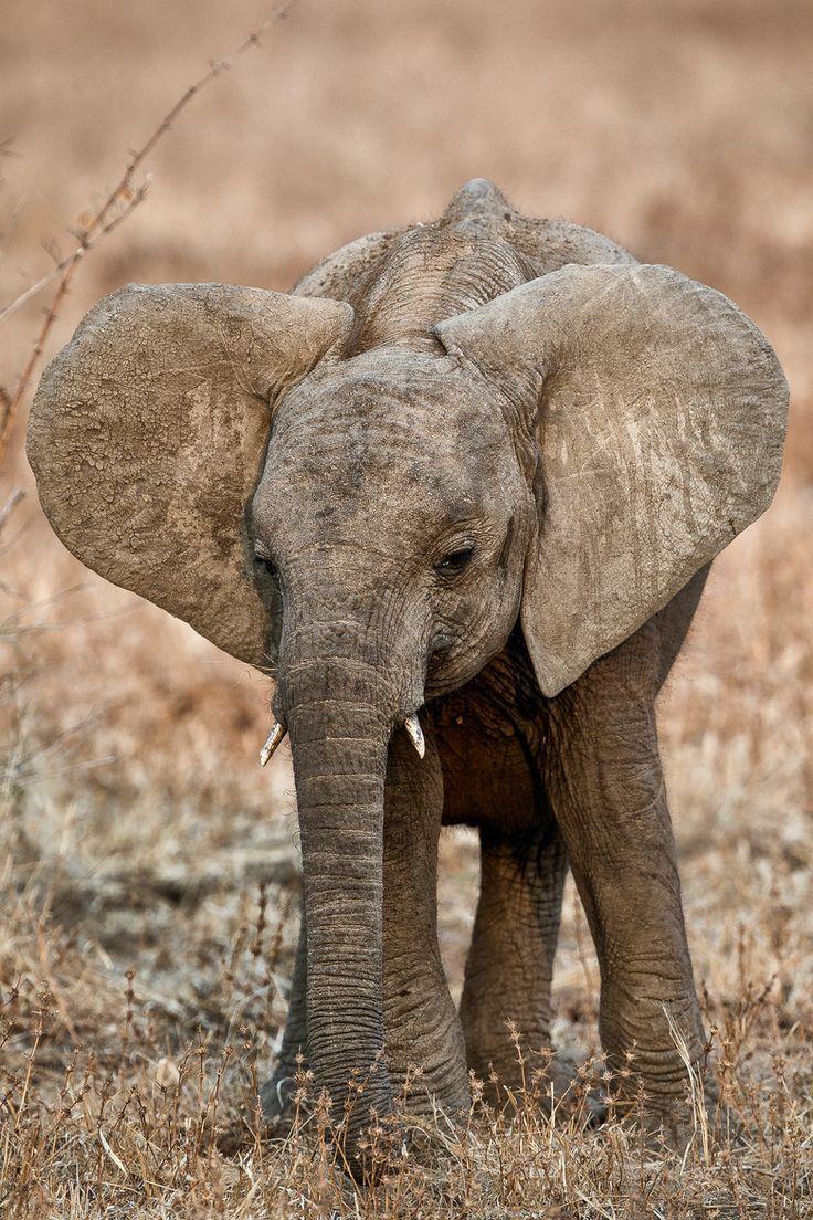 *Baby Elephant (by Martin Abela)