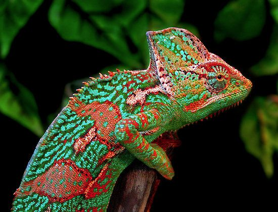 The colors, the design, the texture... amazing!African Chameleons, True Colors, Bobby Mcleod, Personalized Disorder, Nature Colors, Amazing Nature, Multiplication Personalized, Planets Earth, Beautiful Creatures